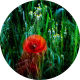 Allisdhair-McNaull's photograph of a a red poppy
