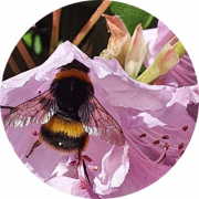 Sarah Keir's photo of a Bumble bee on a pink flower